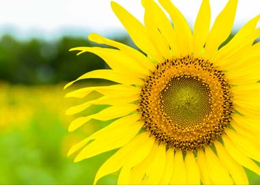 Facing the sunshine - Sunflower