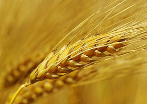 Photo of a wheat sheaf